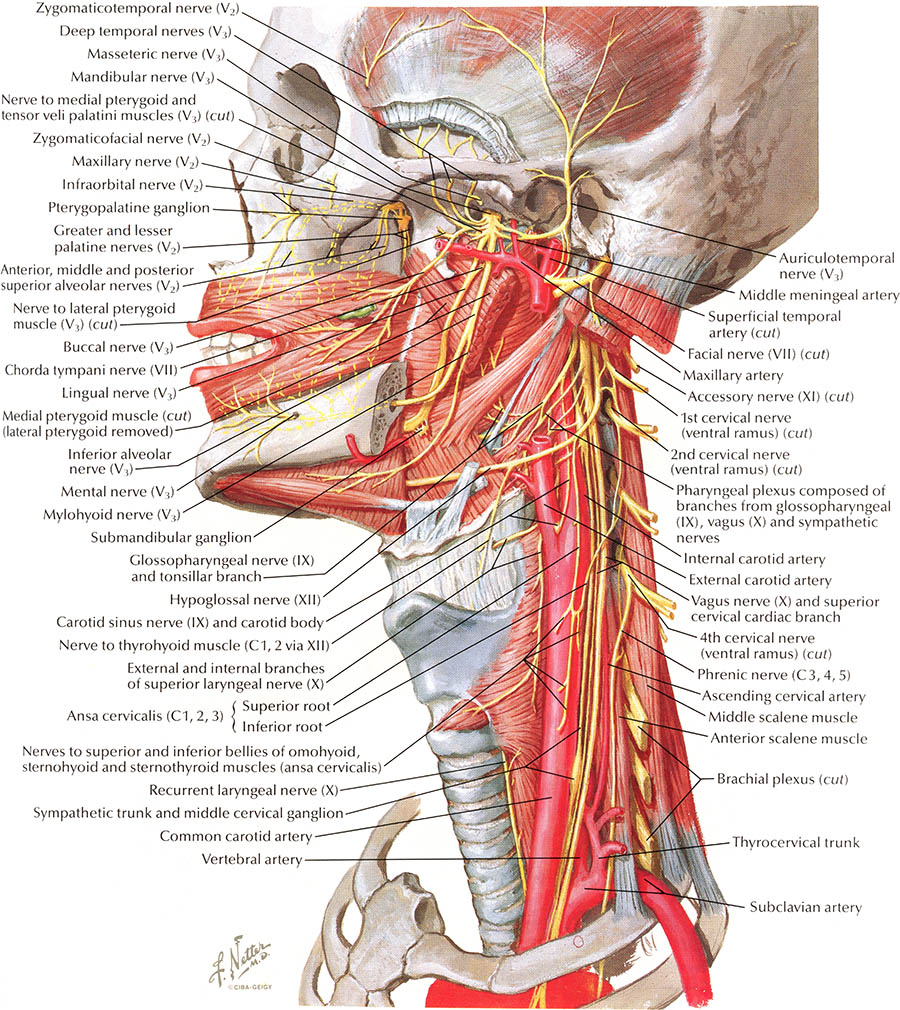 Netter Atlas Of Human Anatomy