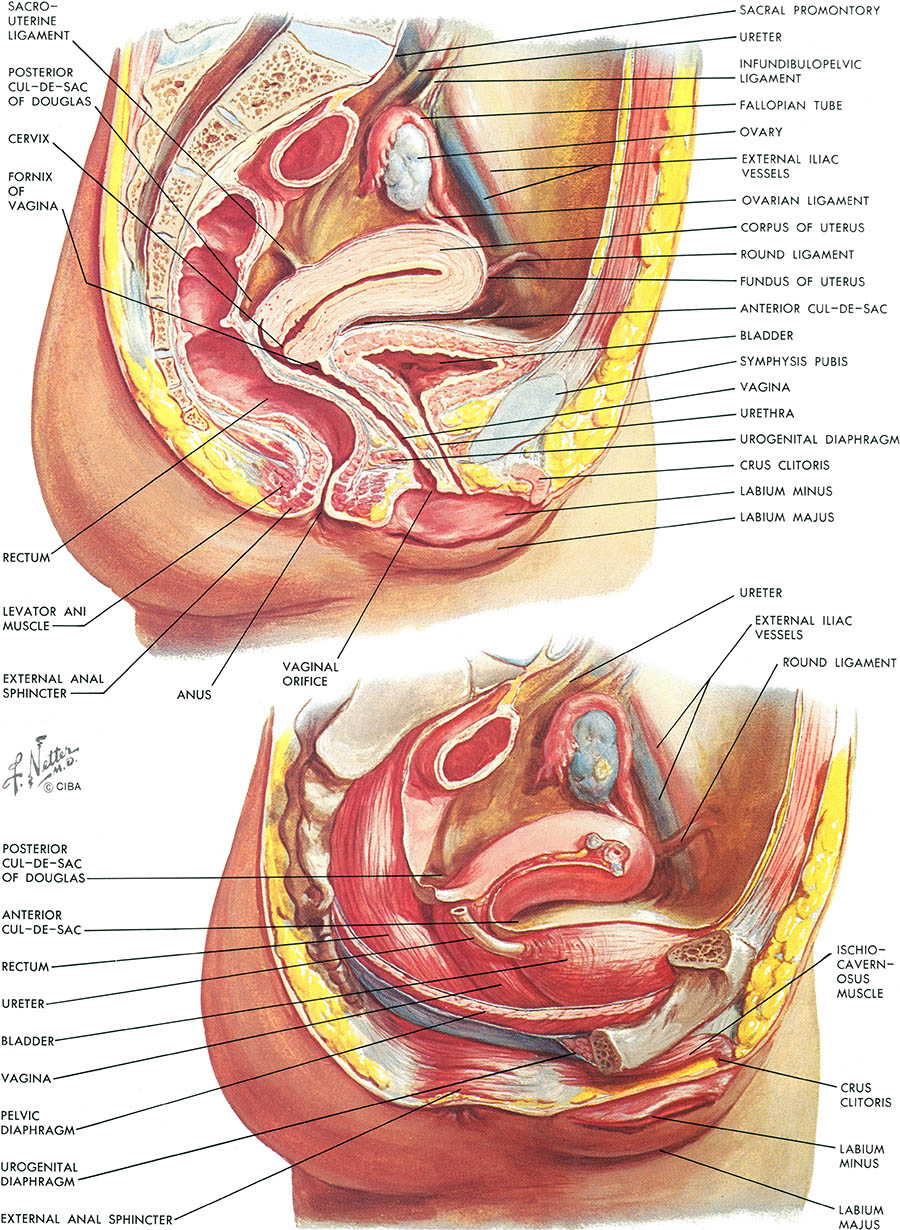Pelvic anatomy female 5147339 - follow4more.info