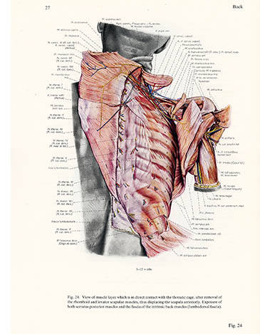 Muscle layer in contact with the thoracic cage, Erich Lepier, click for larger image