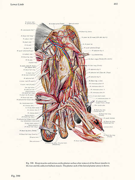 Deep muscles and nerves on the plantar surface, Ludwig Schrott, click for larger image